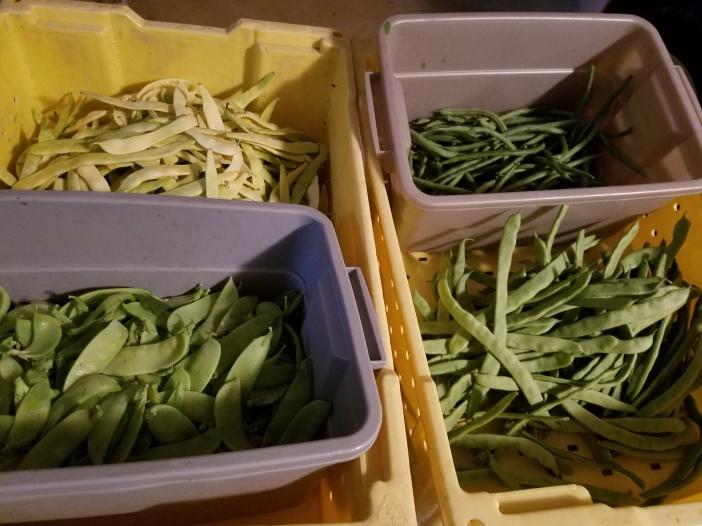 Beans, beans, beans, snow peas 20200719_200123