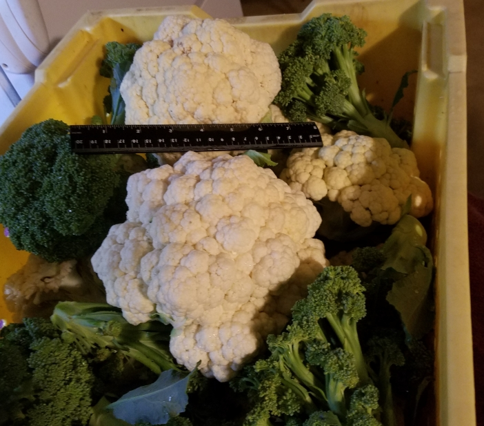 Cauliflower 1.75 lbs. and 8 inches 20200719_200032