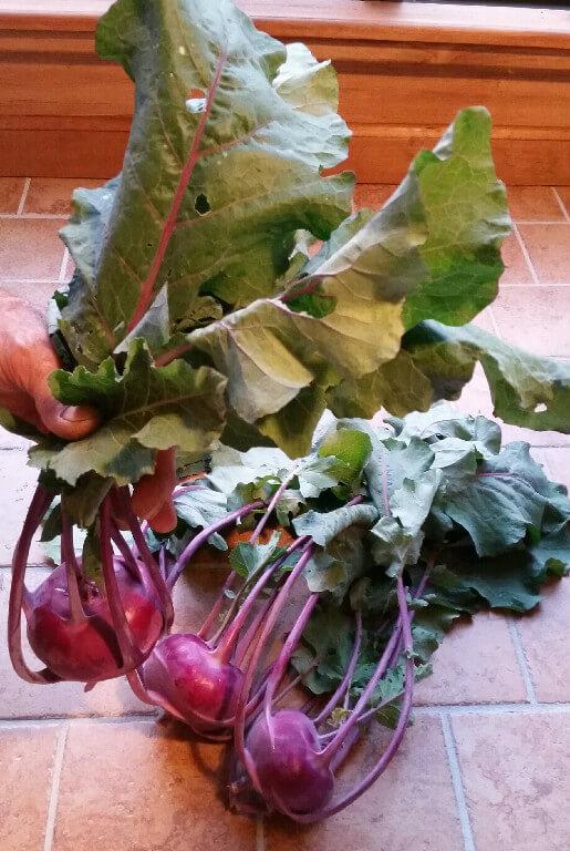 This image has an empty alt attribute; its file name is purple-kohlrabi-1.jpg
